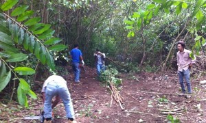 Clearing strawberry guava saplings—an invasive species—at Ho'omaluhia Botanical Garden in Kaneohe.