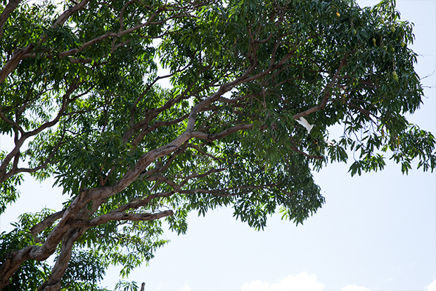 A view of the mango tree with some branches removed